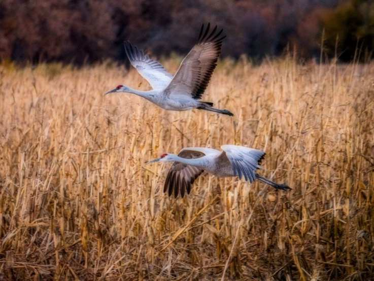 sandhill cranes in filght bird photograpy