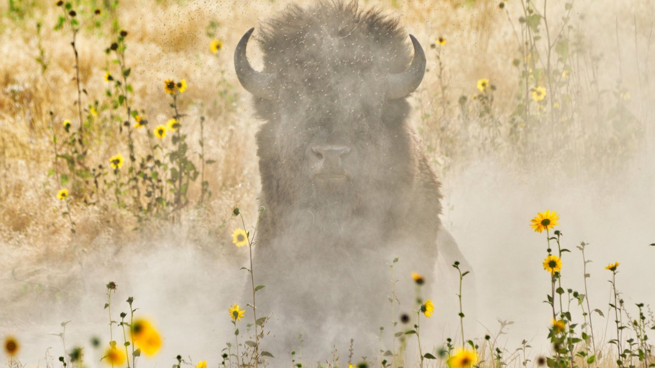 potd outdoor buffalo