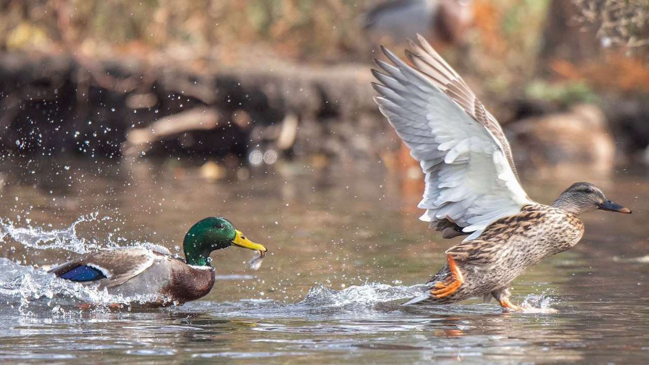 mallard ducks taking off