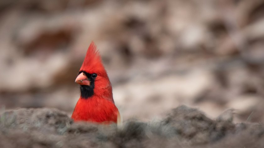 Melinda G Red Cardinal photo