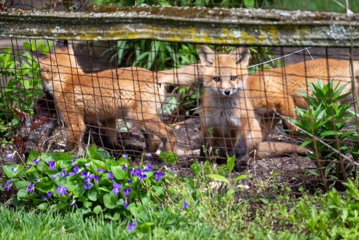 baby fox watching