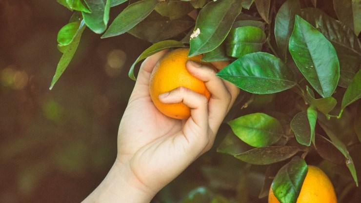 Harvesting orange for lemonade