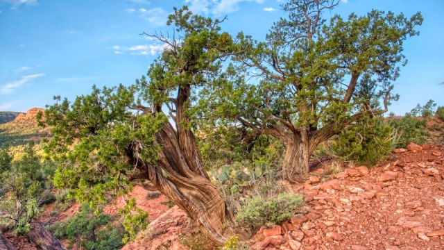 Revisiting Aurora HDR's single image process with a juniper landscape