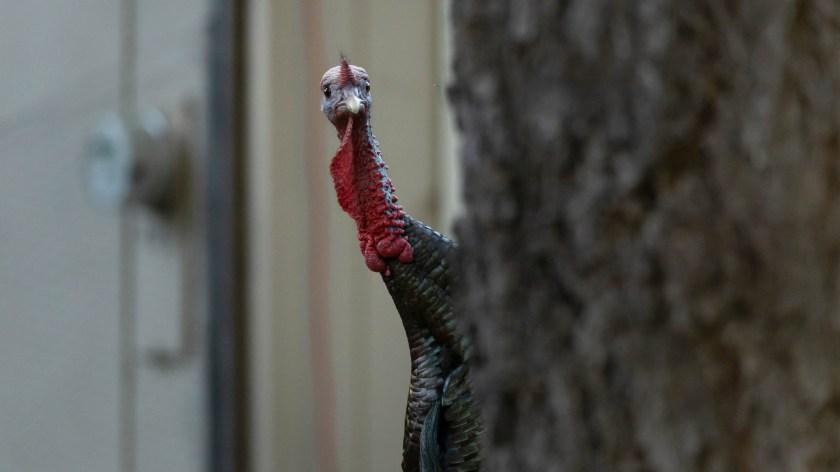 McLean_Photofocus_Featured_turkey_wutttt_IMG_7311