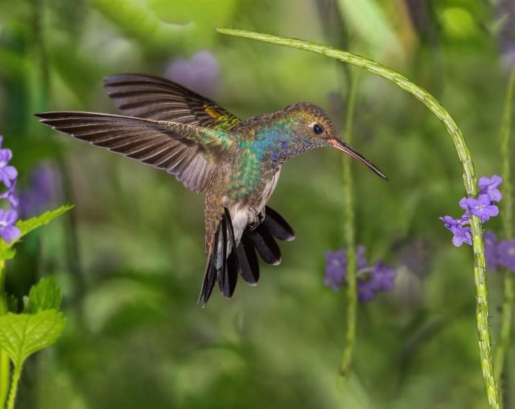 Hummingbird photo © Jose Haydu