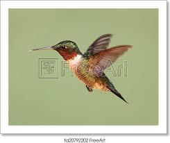 Free art print of Ruby-throated Hummingbird (archilochus colubris ...