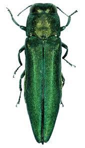 Emerald ash borer - Wikipedia