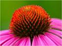 Coneflower Closeup by Steve Horne
