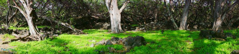 Tree in a lava field.