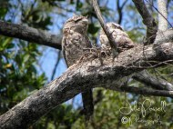 Tawny Frog Mouth Owls