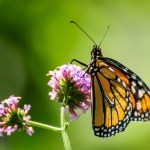 Monarch at Cox - Dayton Photographer Alex Sablan