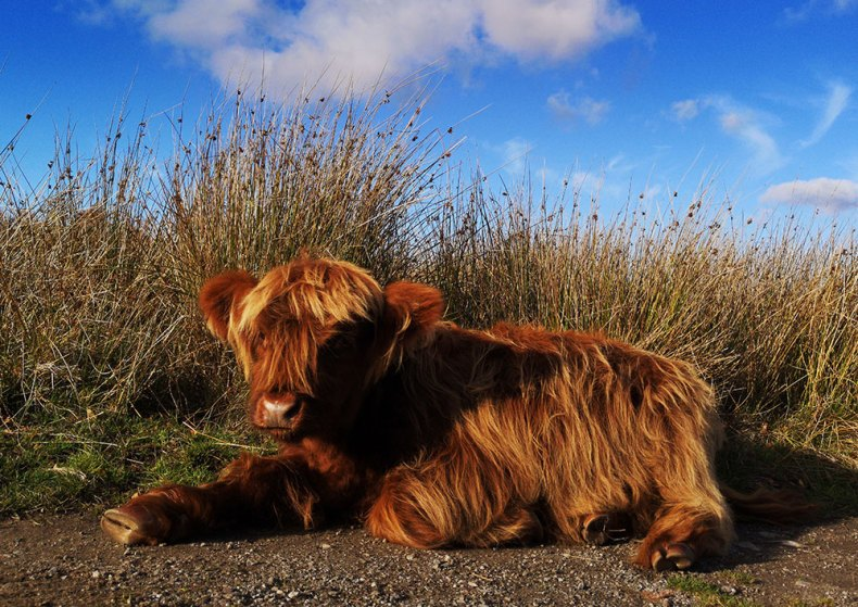 Sunbathing Highland Cattle Calf