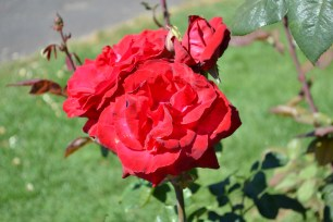 Rose_7