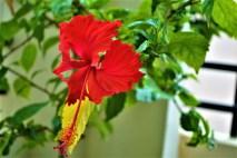 Hibiscus_flower_2