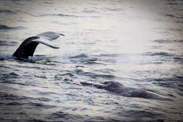 Humpback Whale Watching, Stellwagen Bank Marine Sanctuary – Boston Harbor Cruises