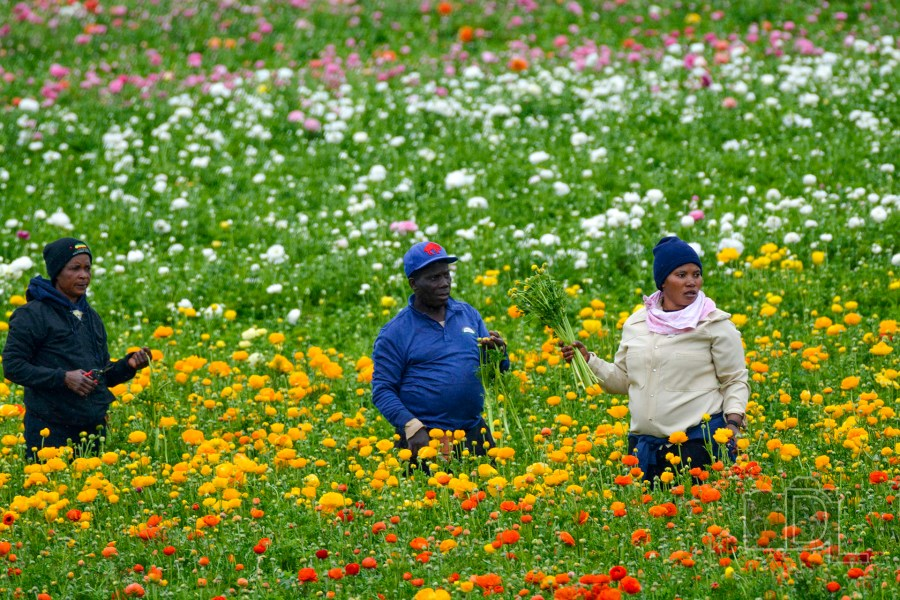 Workers pick colorful flowers from The Flower Fields in Carlsbad, California.