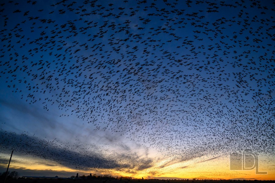 Hundreds of thousands of geese swarm over the setting sun just north of Freeman, South Dakota