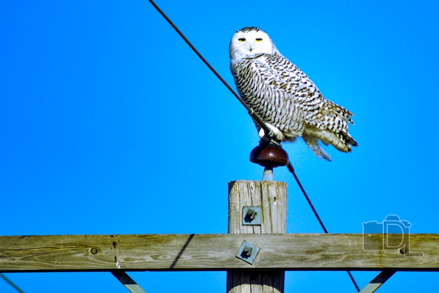 A Snowy Owl sits atop a power line on a winter day.