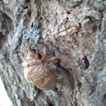 Cicada Nymph Shell