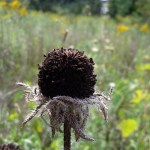 Dead Brown-Eyed Susan