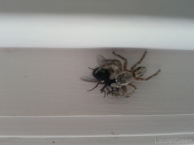 Jumping Spider Eats Jewel Fly