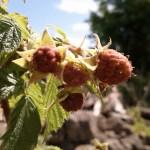 Unripe Raspberries