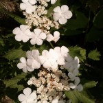 White Blossoms