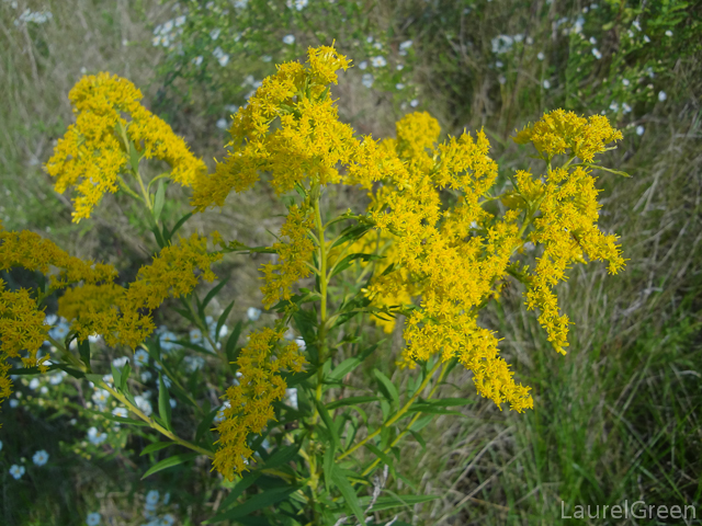 a photograph of some goldenrod
