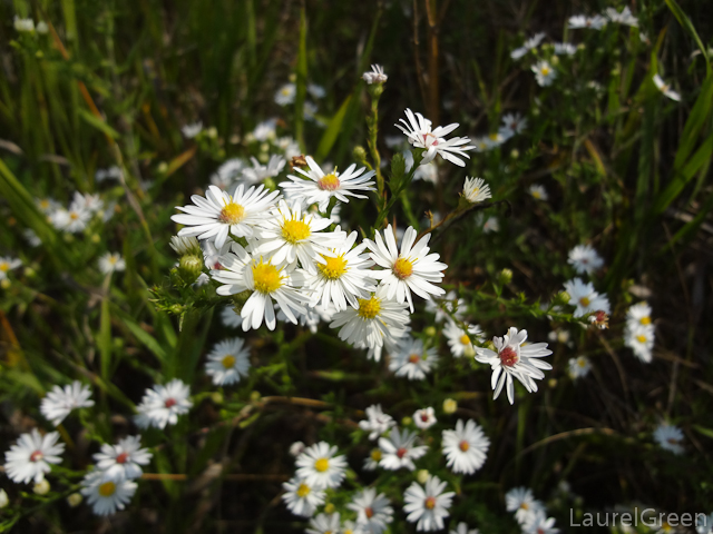 a photograph of some heath aster flowers