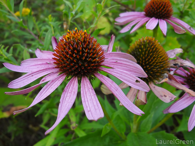 a photograph of some purpler cone flowers