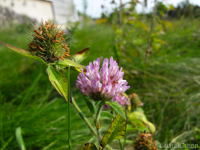 a photograph of a red clover bloom