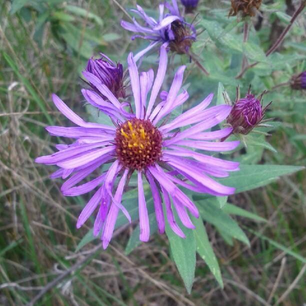 a photo of a purple fleabane flower outside