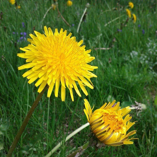 a photo two dandelion flowers, one of the flowers is only partially open