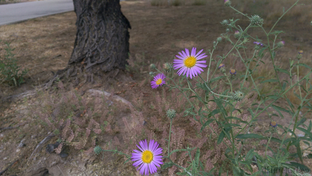 purple aster flowers