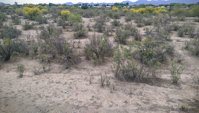 brush growing in the dry rillito river