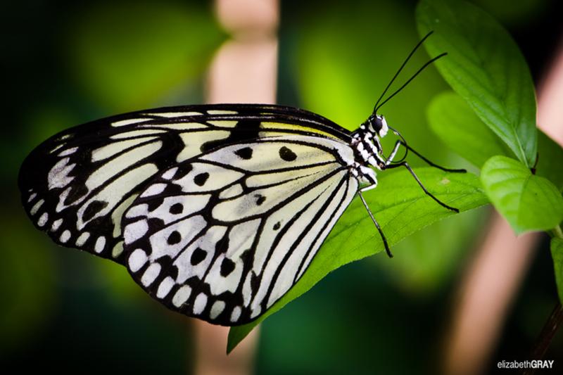 Butterflies – Cockrell Butterfly Center Houston Texas