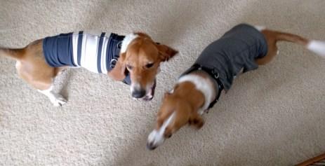 Duke & Penny in hand-me-down thundershirts