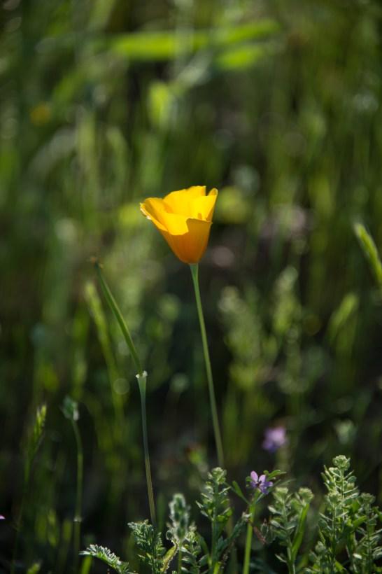 3.19.17 Wildflowers Arizona3.19.17 Wildflowers Arizona Terri Attridge-0318