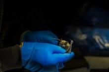 4.25.17 Bat Study Rowell Rd Terri Attridge (2 of 32)