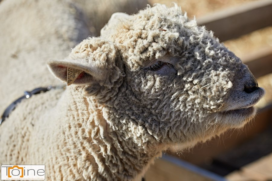 """This sheep was just mesmerized with a small child wearing bright colors to my right. I was able to get this quick """"portrait."""""""