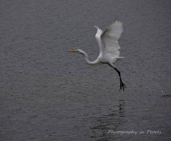 egret-in-flight-2
