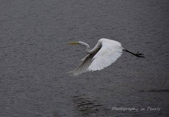 egret-in-flight-3