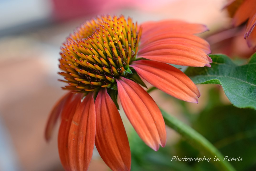 Orange Coneflower 1