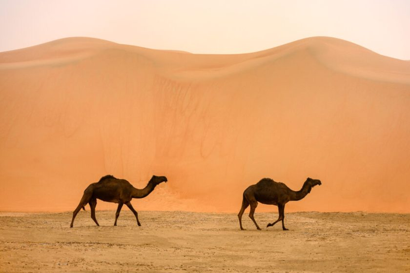 Two Camels and Humps