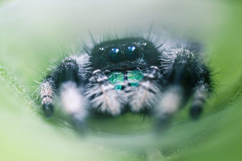 Macro photo of Jumping Spider with Laowa Non-CPU Adapted Lens Nikon FTZ Adapter