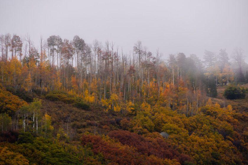Telephoto Aspens in the Fog 1