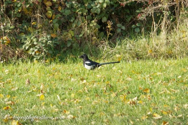 Magpie, Lloyd Park