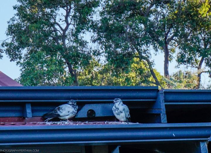 invasion of doves