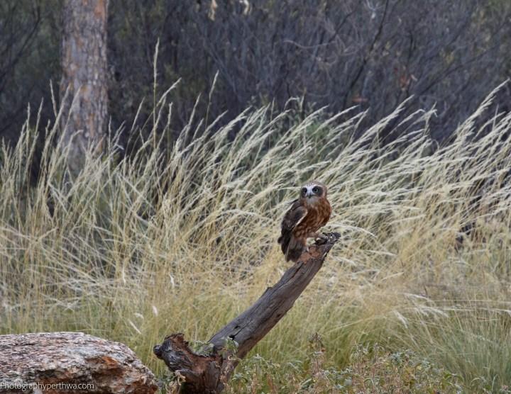 Alice Springs Desert Park - boobook2 (1 of 1)