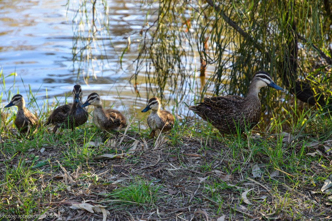 duck family (1 of 1)